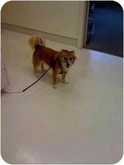 Sheltie, Shetland Sheepdog/Papillon Mix Dog for adoption in Westport, Connecticut - Molly