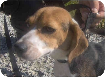 Beagle Dog for adoption in Indianapolis, Indiana - Annie