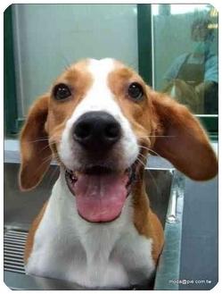 Beagle Mix Dog for adoption in Elk Grove, California - Coffee the Amazing Beagle Boy