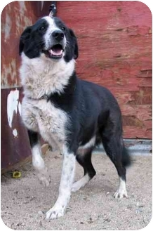 Border Collie Mix Dog for adoption in San Pedro, California - NAKITA