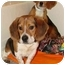 Photo 3 - Beagle/Basset Hound Mix Dog for adoption in Mt Airy, North Carolina - Mickey