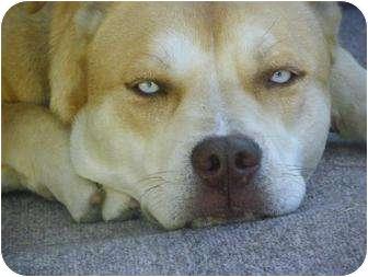 American Pit Bull Terrier/Husky Mix Dog for adoption in La Habra, California - Sophie