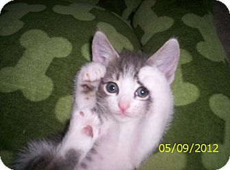 Domestic Shorthair Kitten for adoption in Orlando, Florida - Selena