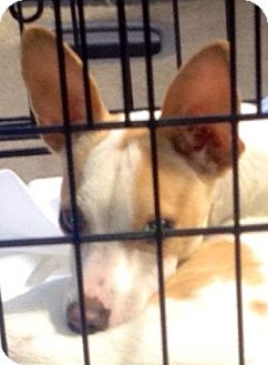 Italian Greyhound/Chihuahua Mix Dog for adoption in Mary Esther, Florida - Ray
