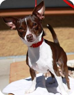 Chihuahua/Rat Terrier Mix Dog for adoption in Gilbert, Arizona - Rocky