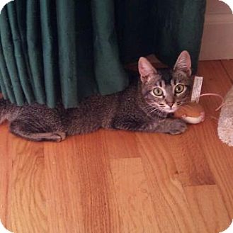 Domestic Shorthair Kitten for adoption in Modesto, California - Mimi