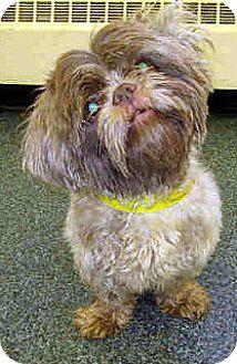 Shih Tzu Mix Dog for adoption in Toledo, Ohio - Edward