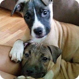 Shepherd (Unknown Type)/Labrador Retriever Mix Puppy for adoption in Kalamazoo, Michigan - Blueberry - Brenda