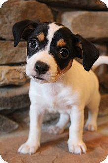Jack Russell Terrier Mix Puppy for adoption in Bedminster, New Jersey - Dempsey