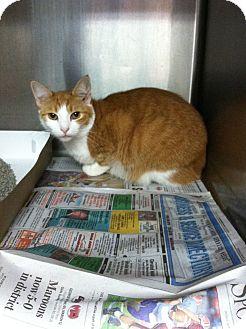 Domestic Shorthair Cat for adoption in MARION, Virginia - Duchess