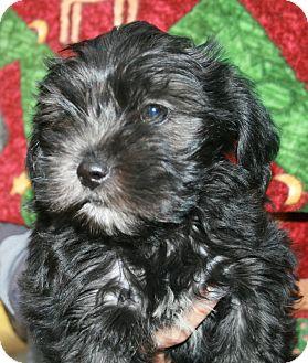 Shih Tzu/Maltese Mix Puppy for adoption in San Diego, California - CODY