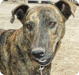 Greyhound/Weimaraner Mix Dog for adoption in Pie Town, New Mexico - TANGO