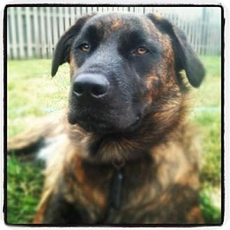 Dutch Shepherd Mix Dog for adoption in Barnegat, New Jersey - Summer