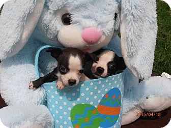 Boston Terrier/Dachshund Mix Puppy for adoption in Paris, Illinois - Betsy