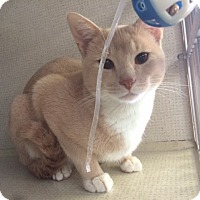 Adopt A Pet :: Pumpkin - New York, NY
