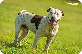 Pit Bull Terrier Mix Dog for adoption in Lancaster, Texas - Twinkle