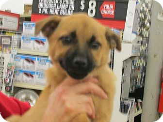 Shepherd (Unknown Type) Mix Puppy for adoption in Rocky Mount, North Carolina - Jana