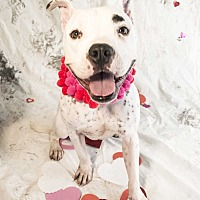 Boxer/Dalmatian Mix Dog for adoption in Auburn, California - Louis