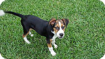 Hound (Unknown Type) Mix Puppy for adoption in Smithtown, New York - Maui