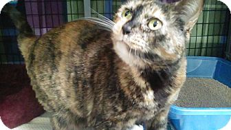 Domestic Shorthair Cat for adoption in Diamond Springs, California - Ginger