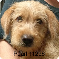Adopt A Pet :: Pearl - Greencastle, NC