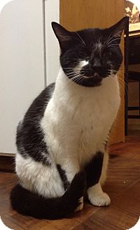 Domestic Shorthair Cat for adoption in Bay City, Michigan - Moo