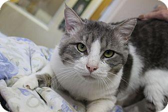 Domestic Shorthair Cat for adoption in Fountain Hills, Arizona - Oro