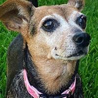 Adopt A Pet :: Kinzley - Dallas, TX