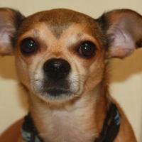 Chihuahua Mix Dog for adoption in Rio Rancho, New Mexico - Cato