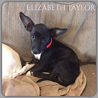 Chihuahua Mix Puppy for adoption in DeForest, Wisconsin - Elizabeth Taylor