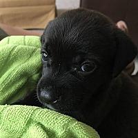 Labrador Retriever Mix Puppy for adoption in Alpharetta, Georgia - Addison Wrigley