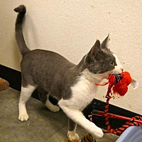 Domestic Shorthair Cat for adoption in san diego, California - Missy