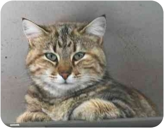 Domestic Shorthair Cat for adoption in Fulton, Missouri - Tiger