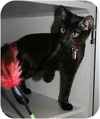 Domestic Shorthair Kitten for adoption in Marietta, Georgia - Georgie