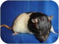 Rat for adoption in Winner, South Dakota - Chance