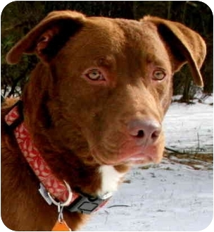 Chesapeake Bay Retriever/Labrador Retriever Mix Dog for adoption in Pawling, New York - RILEY