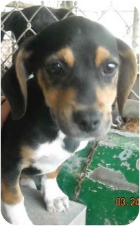 Dachshund/Beagle Mix Dog for adoption in Varnville, South Carolina - Tommy