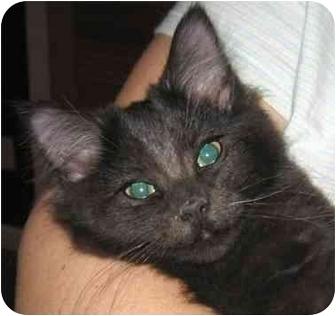Turkish Angora Kitten for adoption in Plainville, Massachusetts - Bear