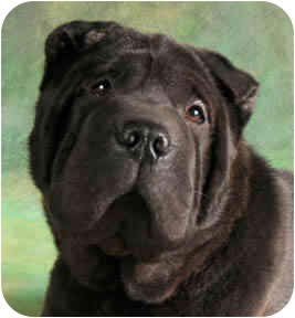 Shar Pei Dog for adoption in Chicago, Illinois - LingLing