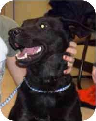 Labrador Retriever Mix Dog for adoption in Brazil, Indiana - Chloe