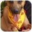 Photo 1 - Terrier (Unknown Type, Medium)/Belgian Malinois Mix Dog for adoption in Coral Springs, Florida - Cindy