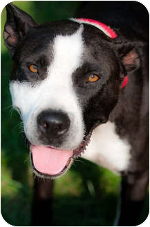 American Pit Bull Terrier Mix Dog for adoption in Cincinnati, Ohio - Lulu - Courtesy Post