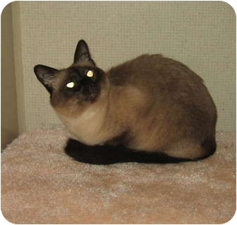 Siamese Cat for adoption in Hamilton, New Jersey - PENNY
