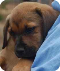 American Bulldog/Shepherd (Unknown Type) Mix Puppy for adoption in Anza, California - american bulldog 7