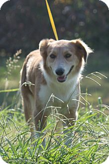 Australian Shepherd Mix Dog for adoption in McKinney, Texas - Nala