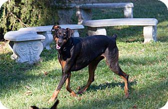 Doberman Pinscher Dog for adoption in Greensboro, North Carolina - Dehlia