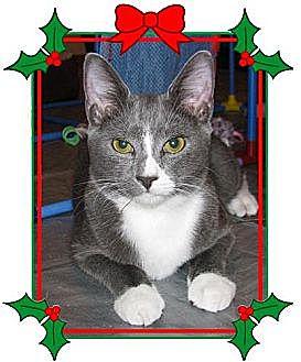 Domestic Shorthair Cat for adoption in Miami, Florida - Dalla