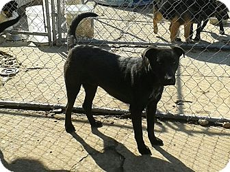 Labrador Retriever/Pit Bull Terrier Mix Dog for adoption in Remlap, Alabama - Travis