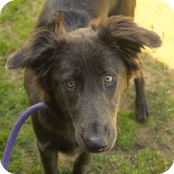 Retriever (Unknown Type)/Shepherd (Unknown Type) Mix Puppy for adoption in Eatontown, New Jersey - Blue Ivy