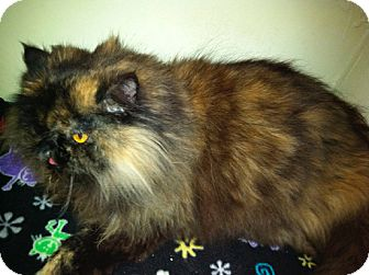 Himalayan Cat for adoption in Laguna Woods, California - Lulu